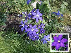 Клематис «Рапсодия»: цветок без претензий и капризов