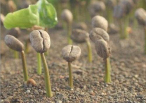 кизильник: размножение семенами
