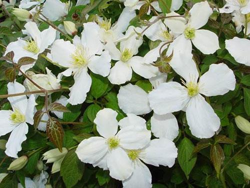 Клематис горный грандифлора цветы