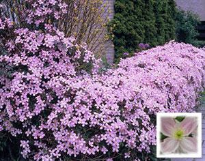 Клематис горный: красота и роскошь в саду