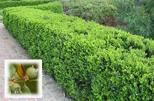 Самшит вечнозеленый – кустарник для декорации сада