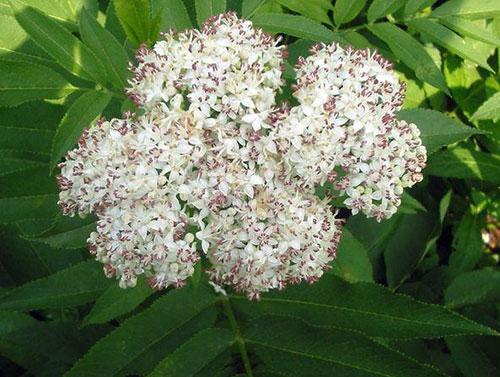 бузина-кустарник с белыми цветами