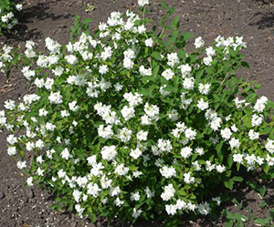 Декоративные кустарники с белыми цветами – непревзойдённое украшение сада
