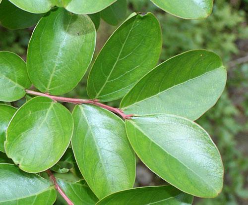Лагерстремия индийская - листья