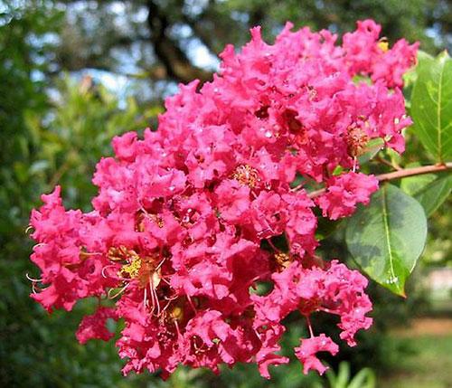 Лагерстремия индийская - цветы