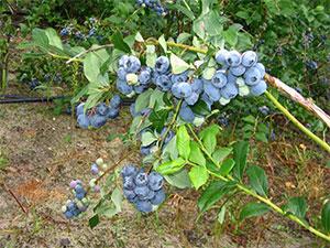 Плодовые кустарники для сада – сочетание красоты и практической пользы