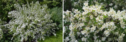кустарники с ежегодным приростом до 2-х и более метров