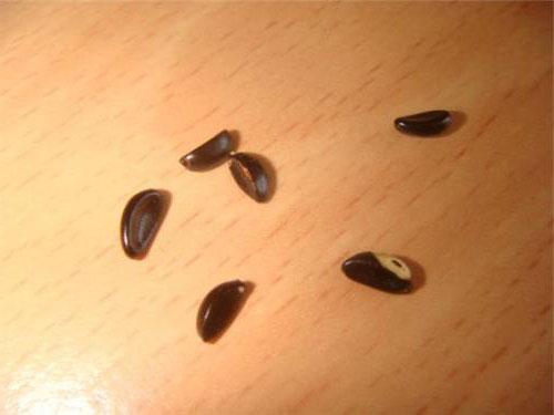 Самшит: размножение семенами