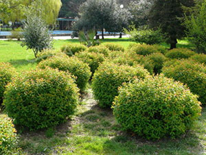 Самшит: размножение семенами и черенками