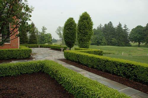 Самшит вечнозелёный - бордюры и живые изгороди