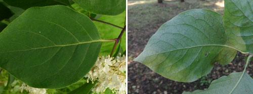 Сирень амурская - листья