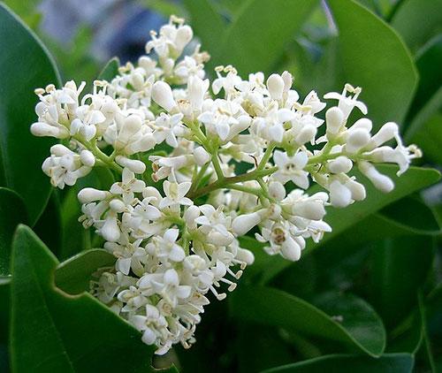 Сирень амурская - цветы