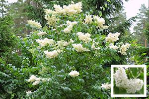 Сирень амурская – роскошное дерево-кустарник с чарующим ароматом