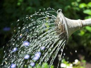 Вистерия любит воду