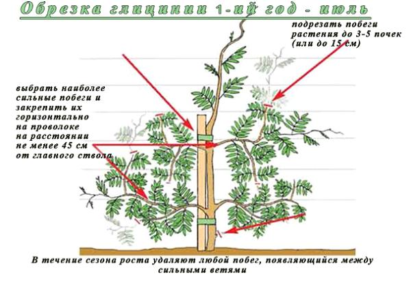 Растению необходима обрезка