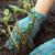 Дерен – методика размножения декоративного кустарника